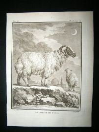 Buffon: C1770 Ram Sheep of Tunis, Antique Print